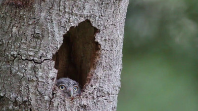 Movie of young Screech owl