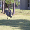 This is one crazy bird! This started with the Sandhill and a Squirrel getting into a confrontation. After that was over this guy starts going off.....just doing his thing I guess? And if you are wondering I did not adjust the speed of the video he is just that spastic! This took place on Wedgefield Golf course, Orlando Florida.