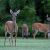 Florida Deer : Photos from Frank's place