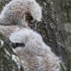 Great Horned Owl, Owlet